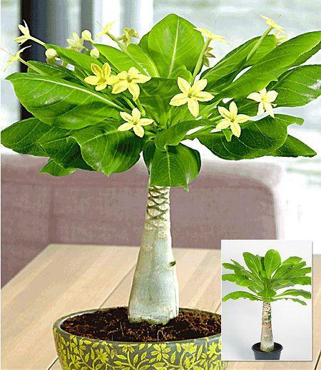 Shop Mein Schöner Garten hawaii palme 1 pflanze im mein schöner garten shop garten