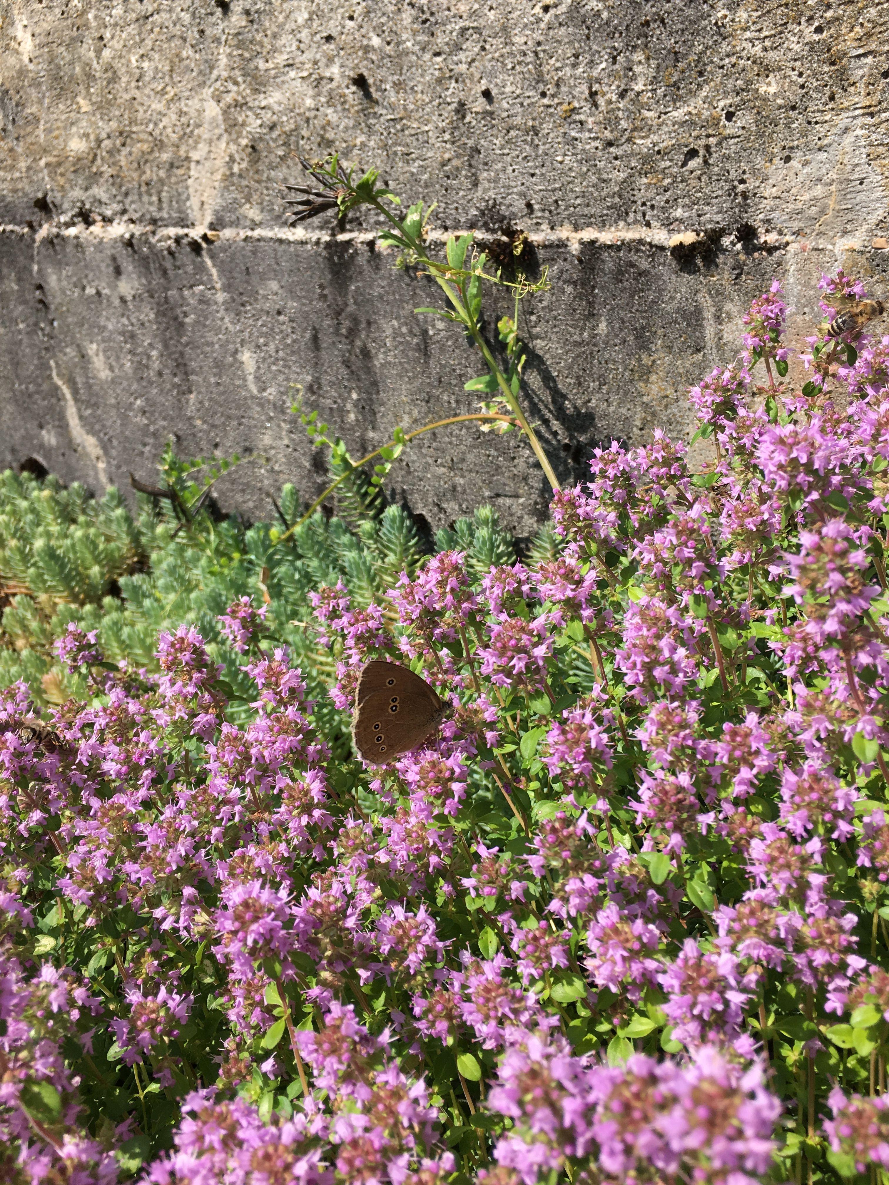 Schmetterling auf wildemThymian