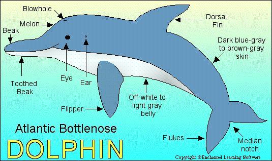 a diagram or a atlantic bottlenose dolphin projects to try bottlenose dolphin labeled diagram bottlenose dolphin diagram #2