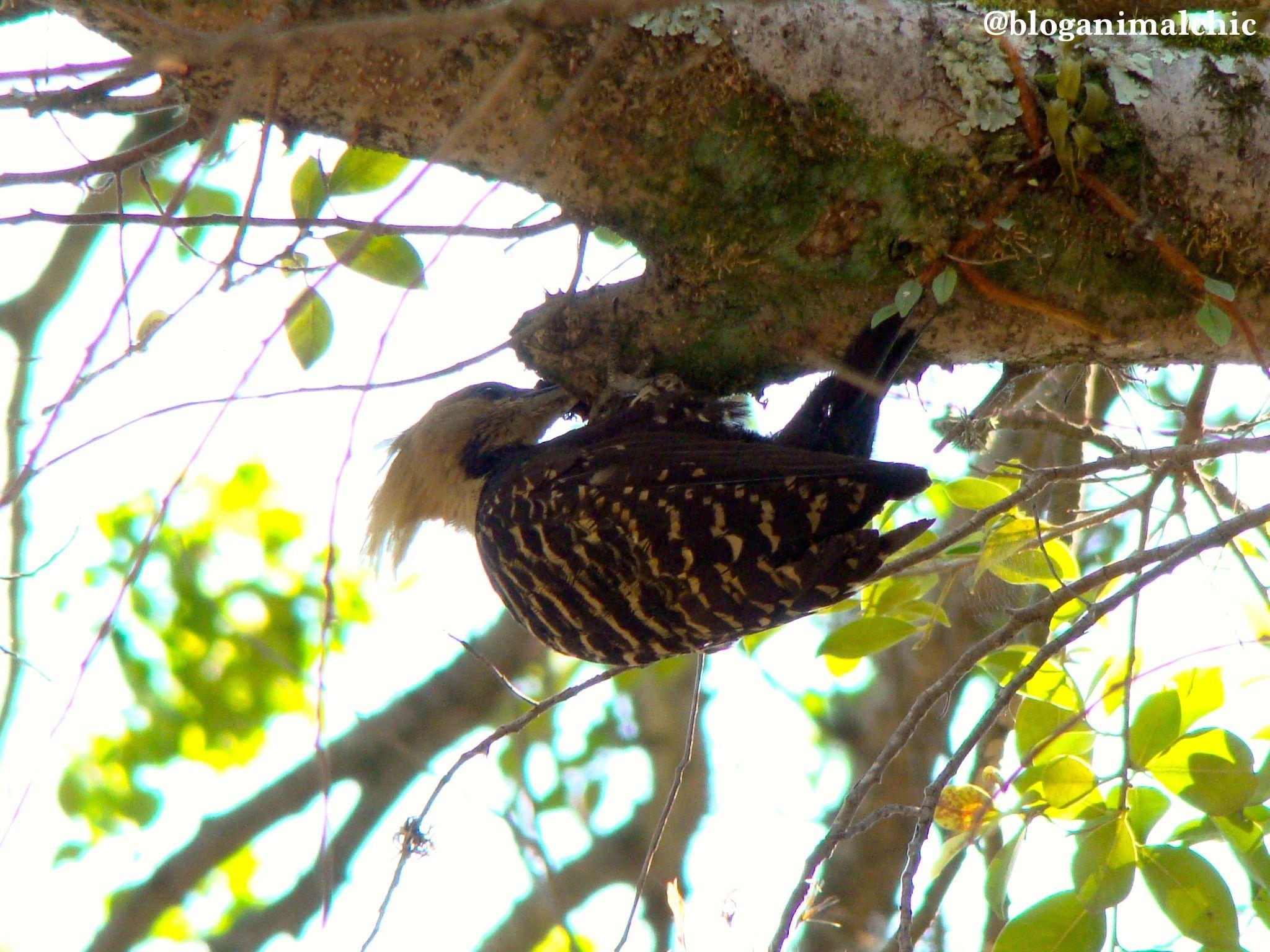 Pica-pau-de-cabeça-amarela (Celeus flavescens) registrado no Pq. Ibirapuera em São Paulo/SP em Dezembro/13.