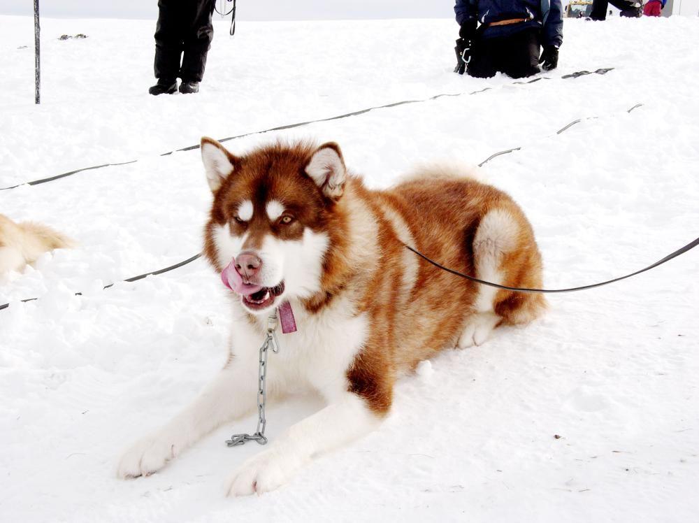 Eight Below Buck Snow Dogs Dog Sledding Husky Puppy