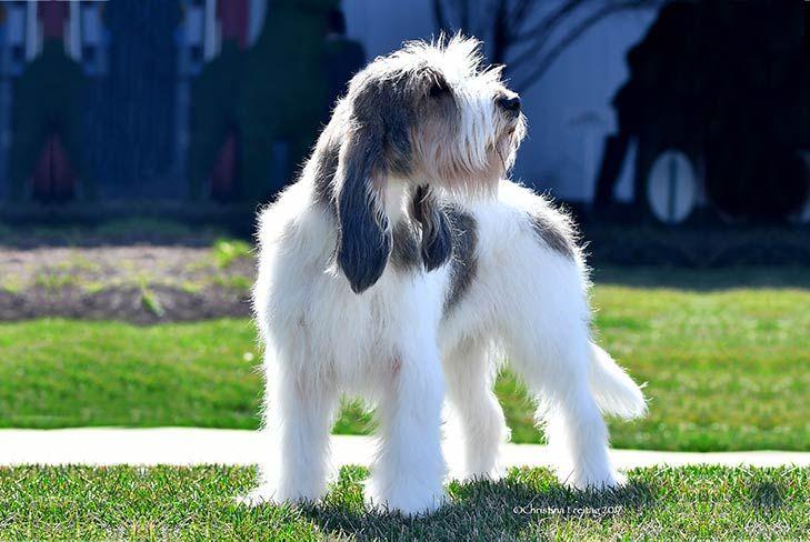 Grand Basset Griffon Vendéen Dog Breed Information Dog