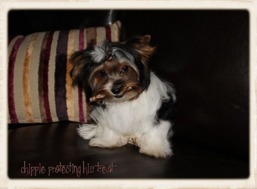 Available Puppies Eljemelo Yorkies Biewer Terriers We Breed Um