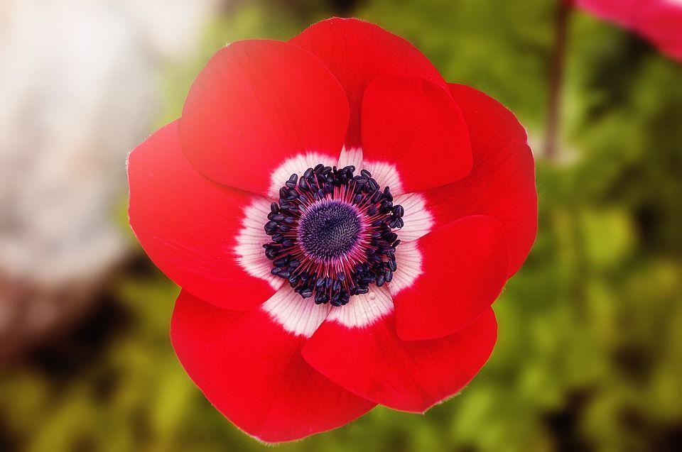 Gratis afbeelding op pixabay papaver rood klaproos bloem gratis afbeelding mightylinksfo
