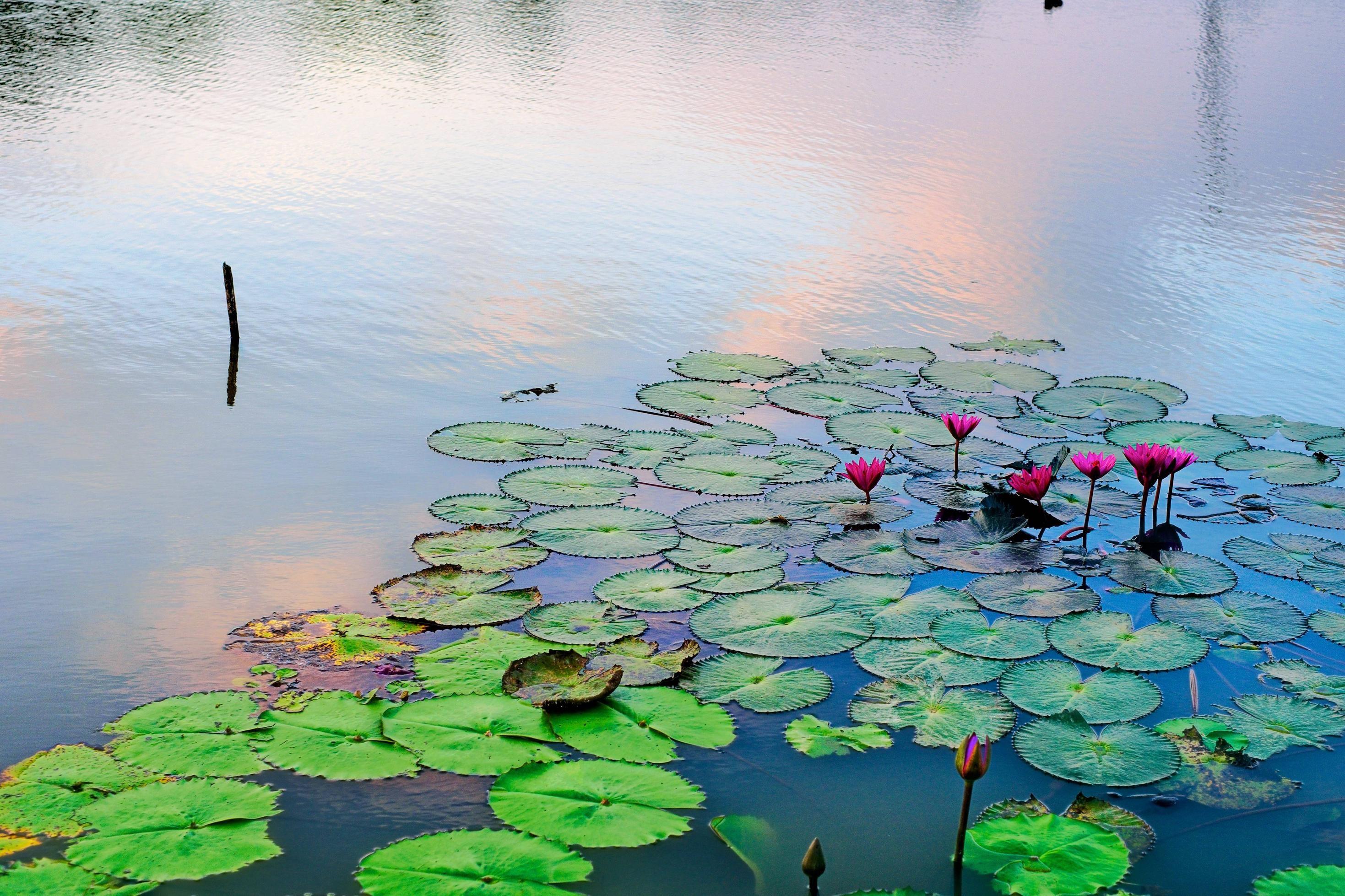 Waterlillies Love the Sunset Skye Too