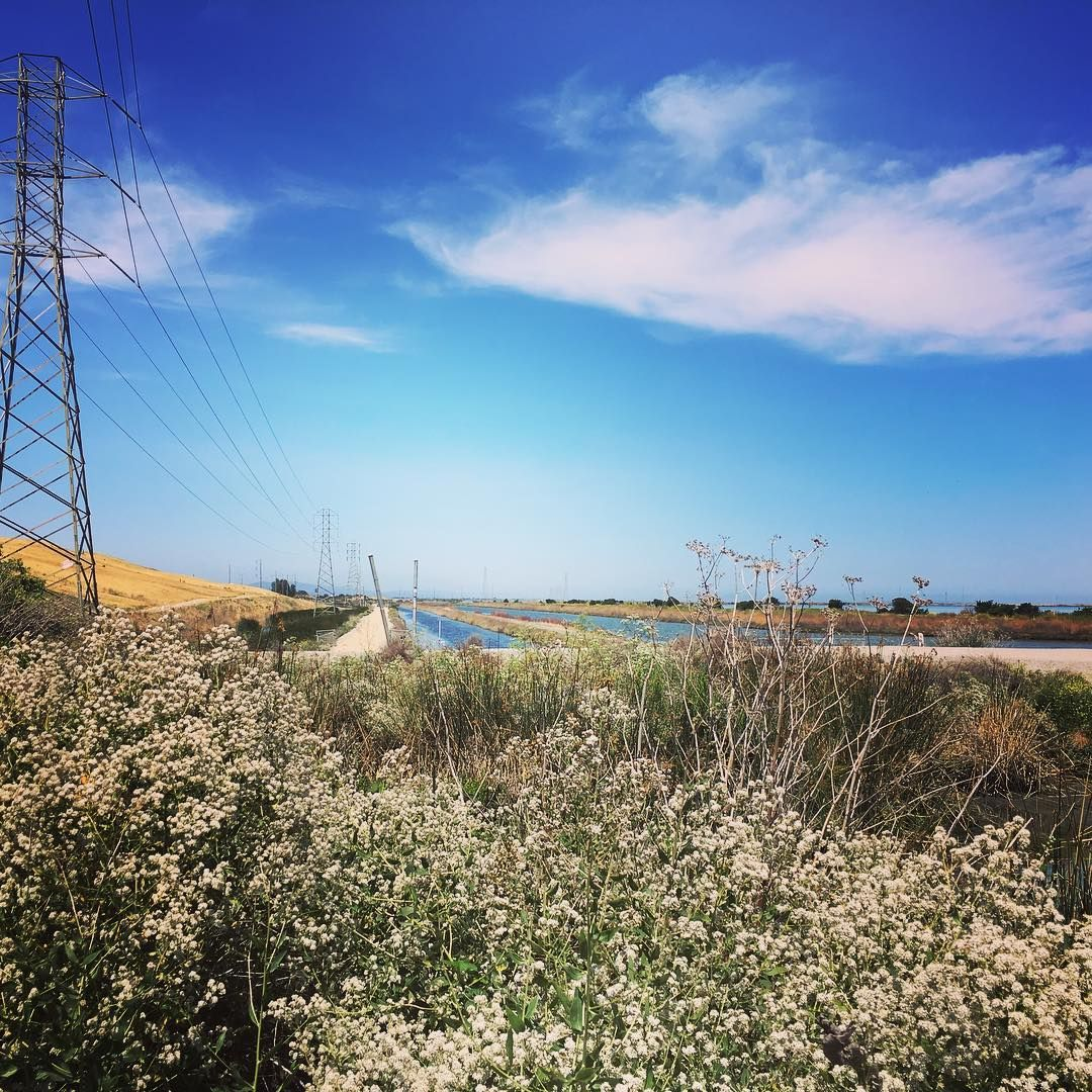 A Field Of California Native Buckwheat Nativeplants