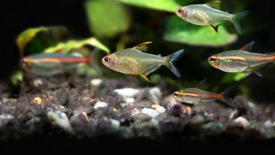 Big List Of The 6 Most Colorful Tetra Fish Species For Your Aquarium Tfcg In 2020 Tetra Fish Tropical Fish Tanks 10 Gallon Fish Tank