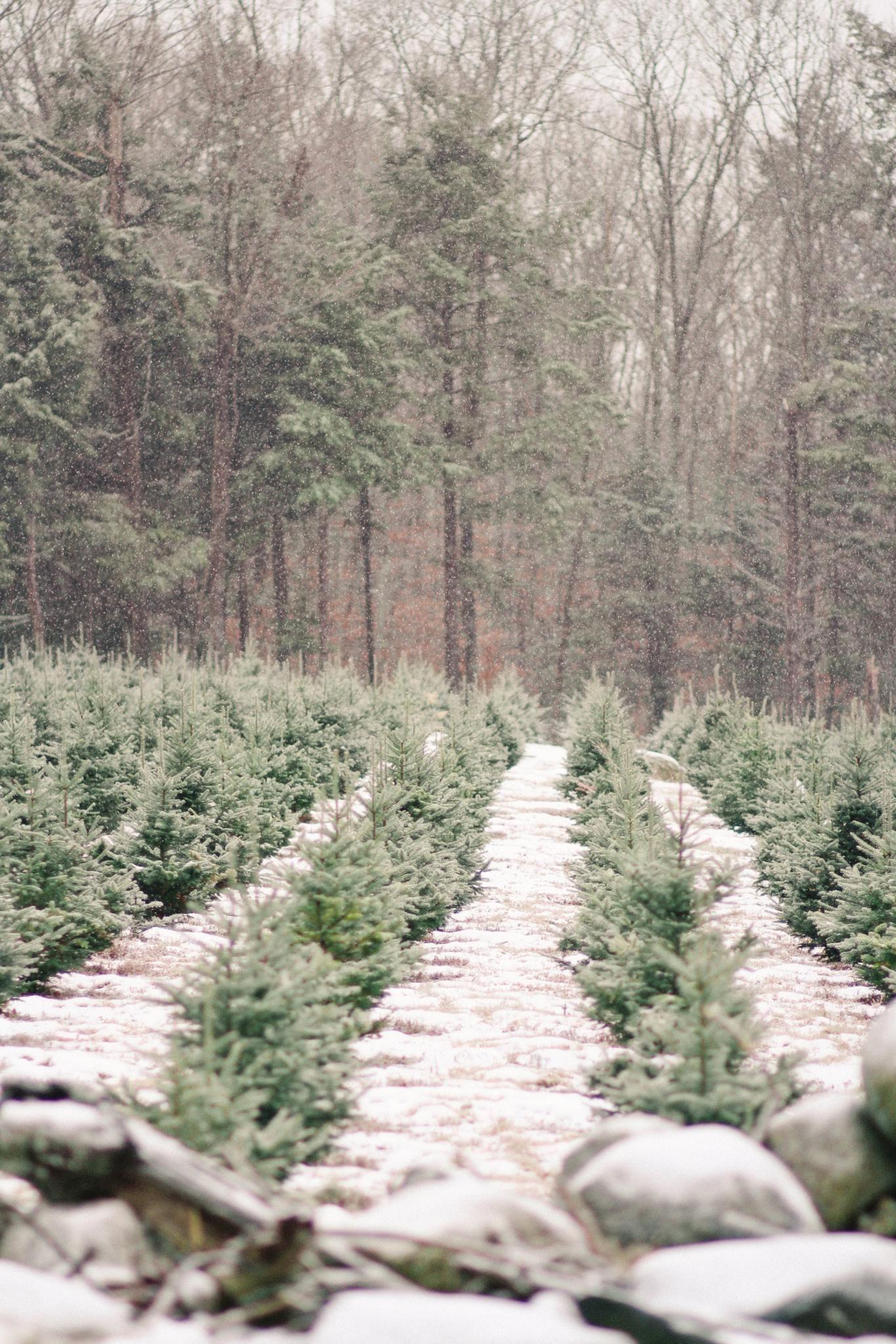 Shopper's Diary A Christmas Tree Farm in Maine