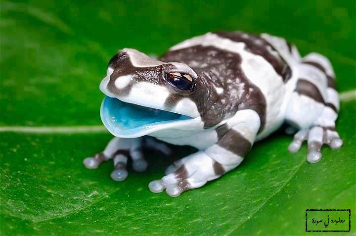 ضفدع الحليب الأمازوني هو ضفدع ضخم يعيش على الأشجار في غابات الأمازون في أمريكا الجنوبية طوله يتراوح بين 6 10 سنتيمترات ع Cute Frogs Animals Cute Animals