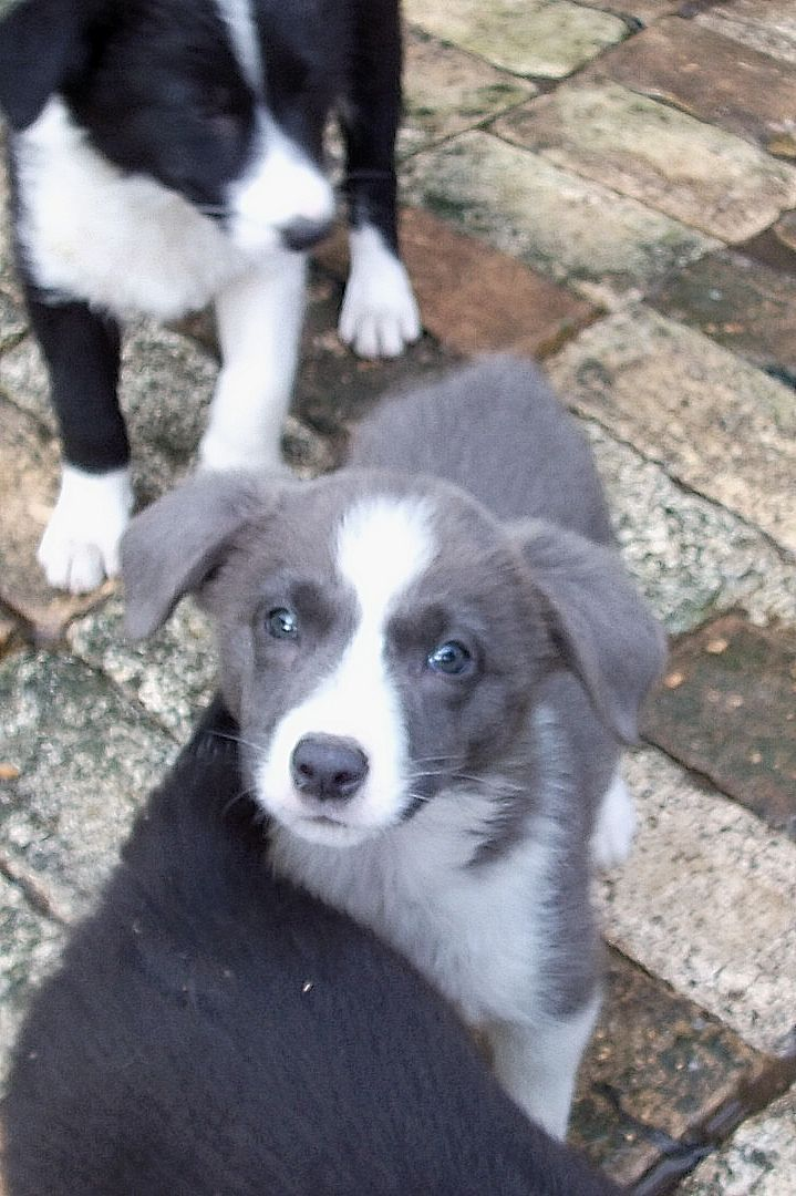 Blue Border Collie Short Hair Puppy Blue Border Collie Animals