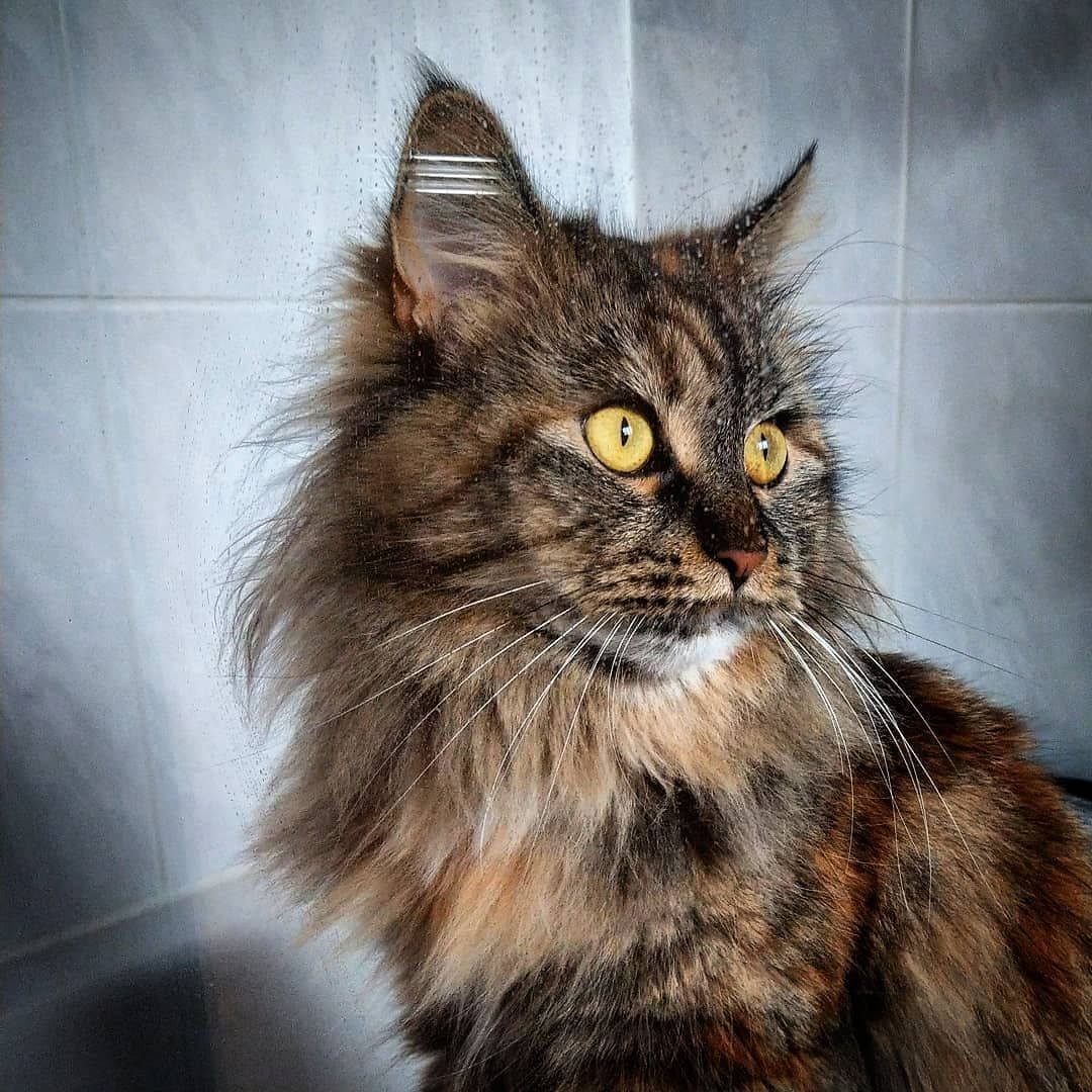 There is a cat in the shower 🚿 . . . mainecoon