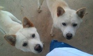 Jack Is An Adoptable Jindo Dog In Virginia Beach Va Courtesy Listing Jack And Ace Are Two Year Old White Male Jindo Brothers Living In Jindo Dog Jindo Dogs