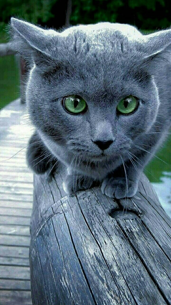 Pin By Louise Mataya On Adorable Kittens Blue Cats Pretty Cats Cats Kittens