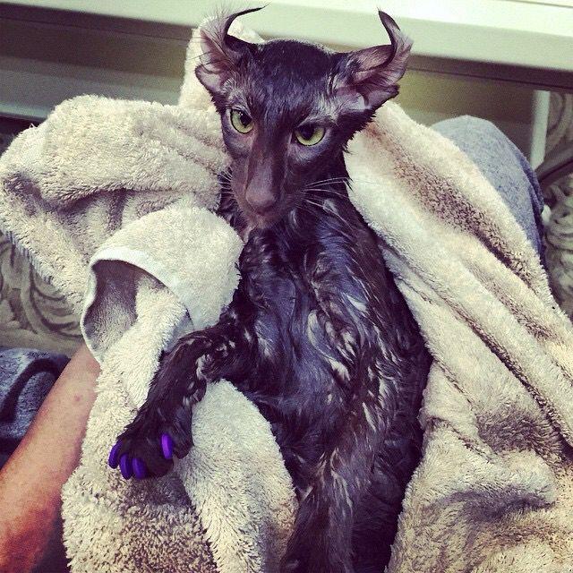 Black Oriental Shorthair Cat after a bath #wet curled ears