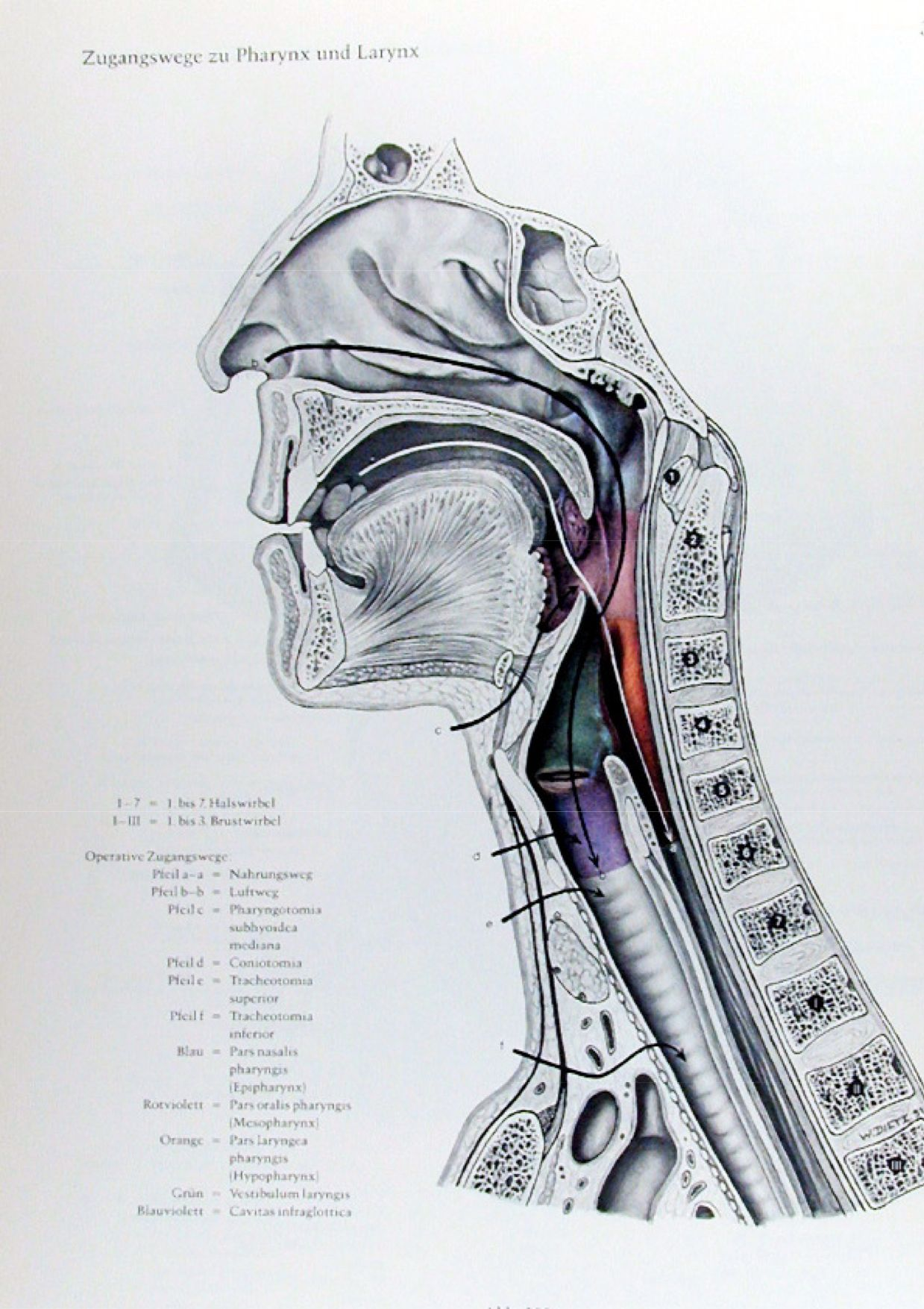 Eduard Pernkopf atlas | The head and neck | Pinterest | Anatomy