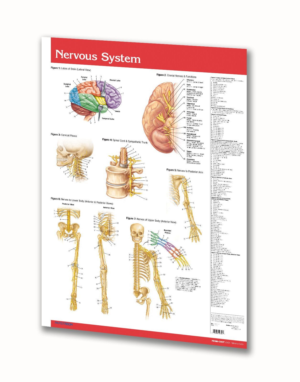Nervous System Poster Circulatory System Anatomy Poster