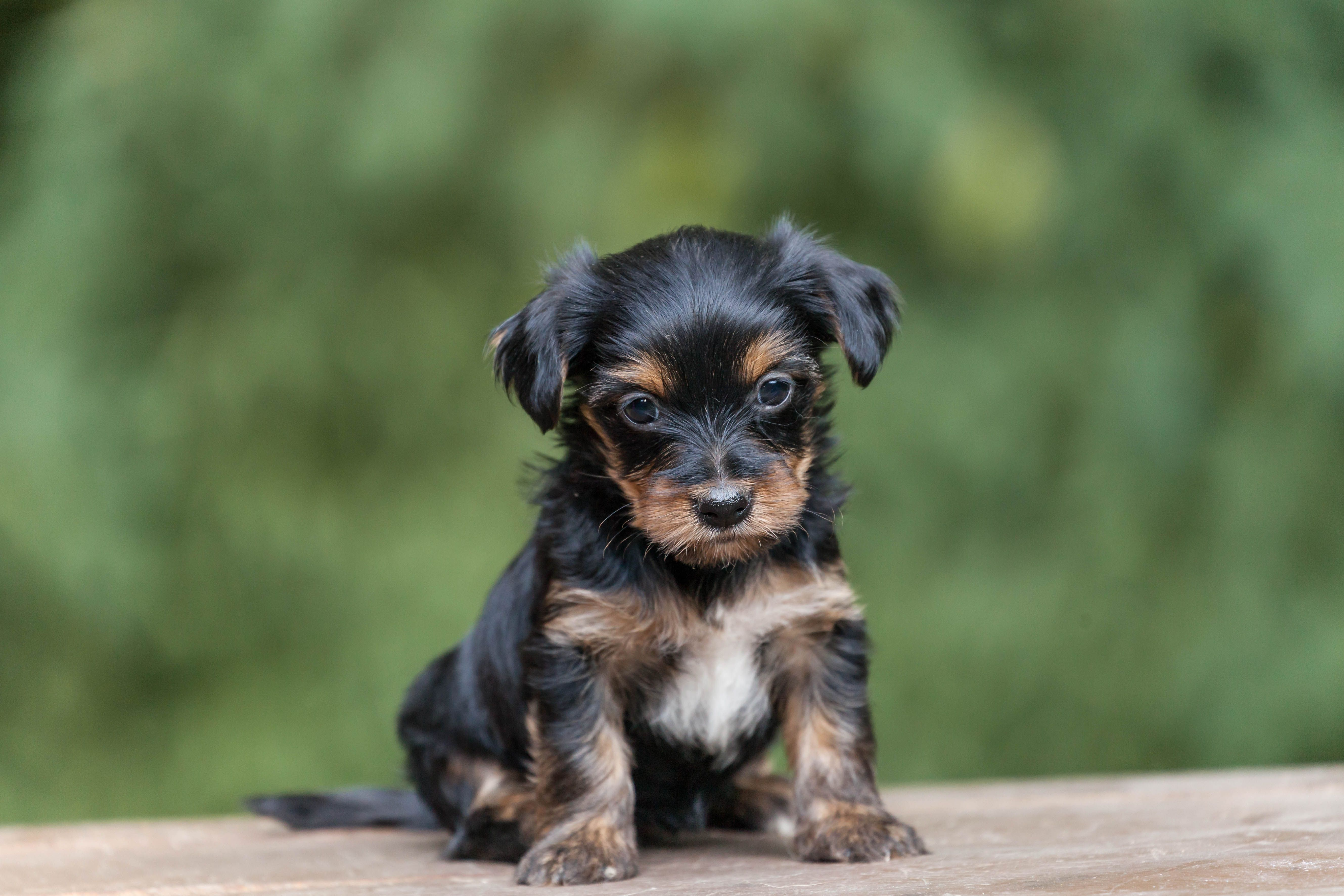 Puppies For Sale Yorkshire Terrier Yorkshire Terrier Puppies