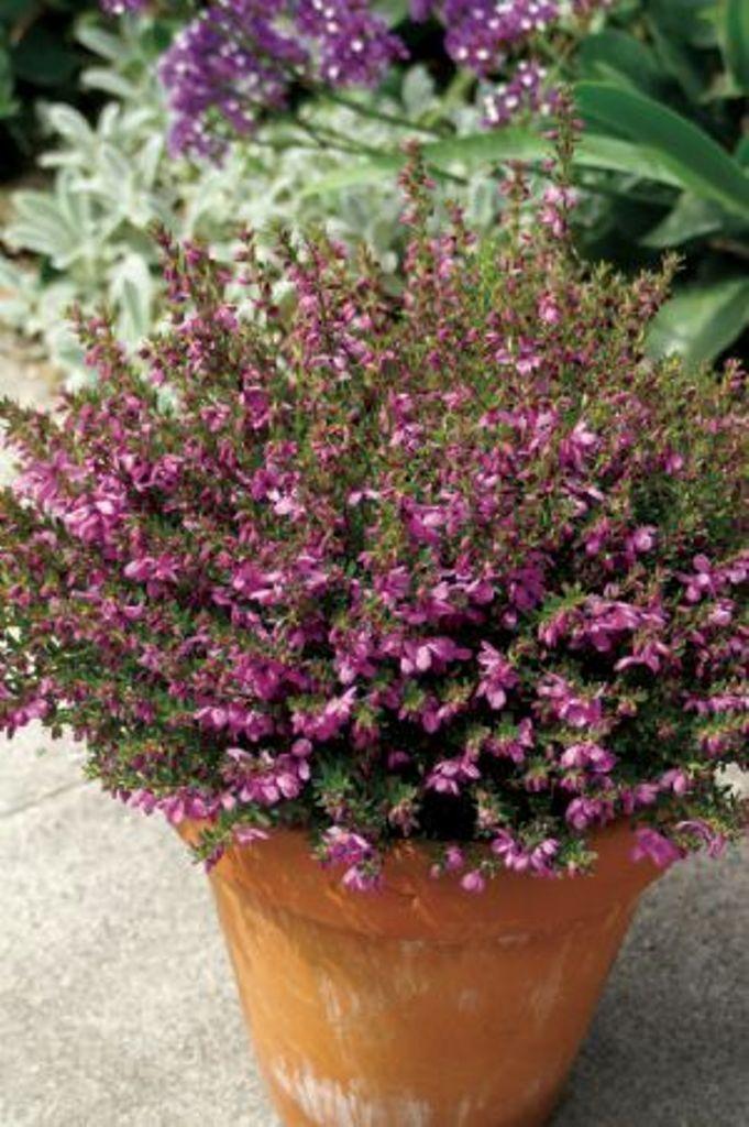 Plant Style Solutions Range 140mm Tetratheca Fairy Bells Plants Garden Hardware Australian Native Plants