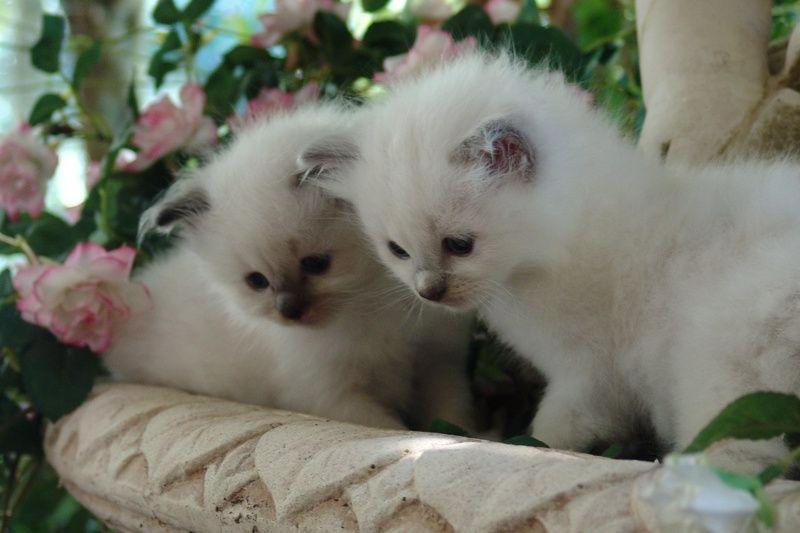Adopting Your New Kitten Newcastle Ragdolls Kittens Adoption Newcastle