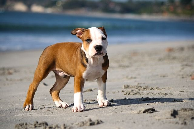 6 Best Puppy Food For Pitbulls In 2020 Reviews And Guide