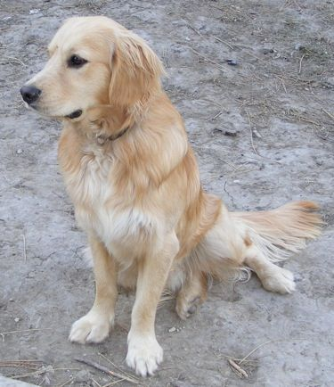 Miniature Golden Retriever Bred By C And S Ranch Miniature