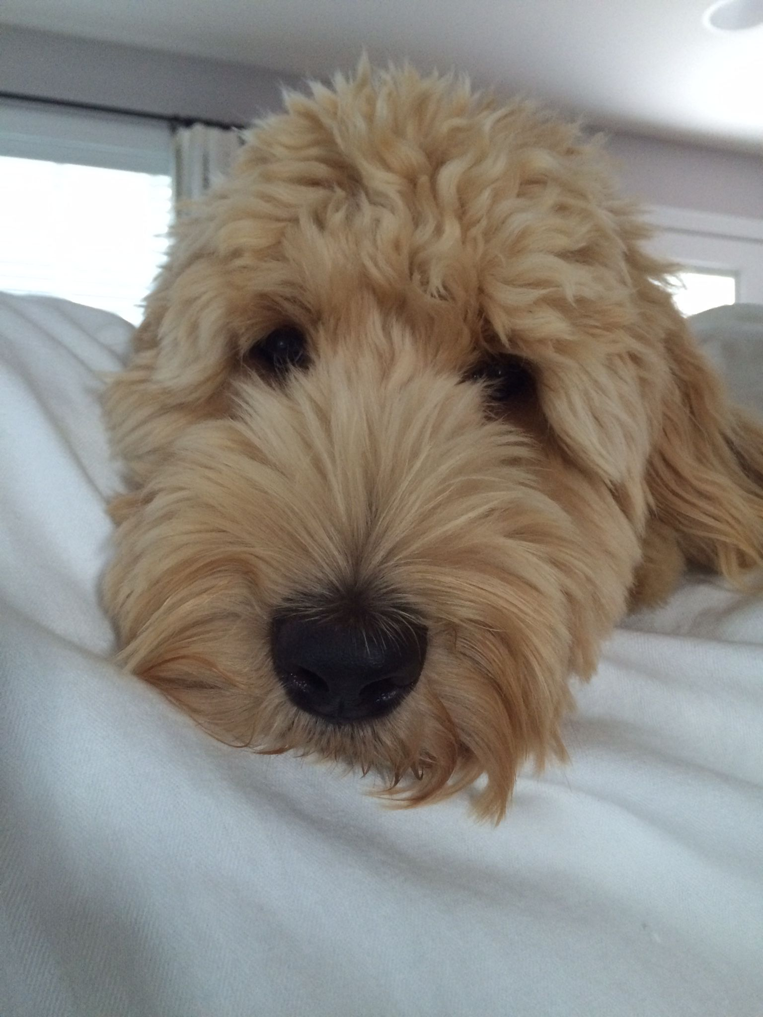 Doodle face fluffy animals goldendoodle grooming cute