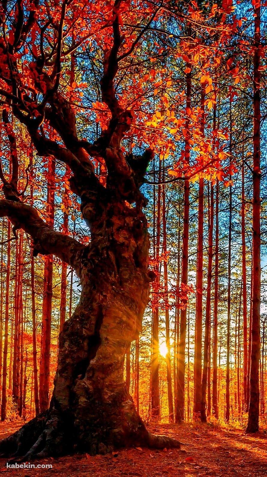 光射す秋の森のiphone壁紙 秋 壁紙 紅葉 景色 風景の絵