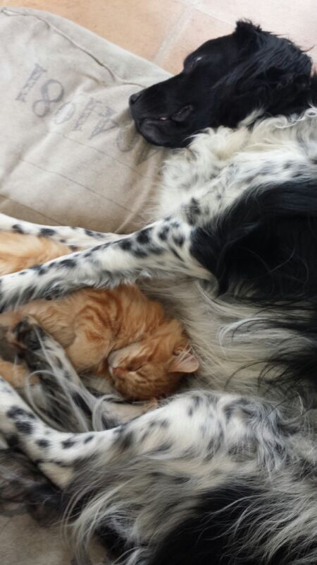 Our Maine Coon kitten Ayla sleeping with the dog