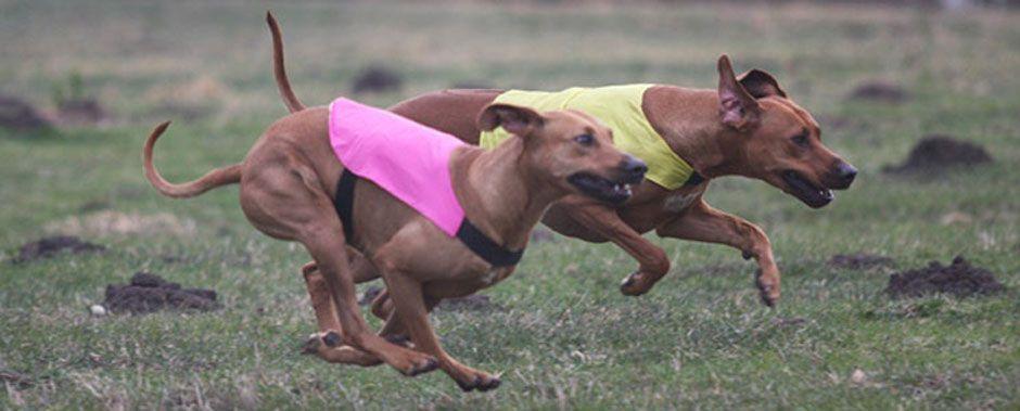 Photo From The Northwest Rhodesian Ridgeback Club Ridgebacks From Washington Oregon And Idaho Che Rhodesian Ridgeback Rhodesian Ridgeback Puppies Puppies