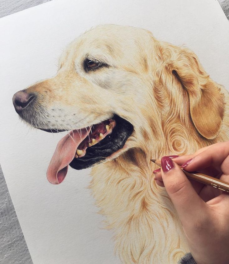 Illustrator On Instagram Bubas The Gorgeous Golden