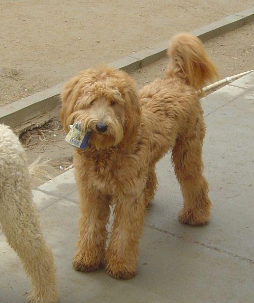 More Hank Beau Monde Labradoodles Best Labradoodle Stud Dog For