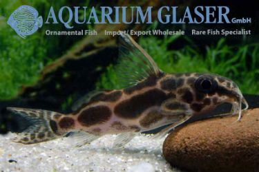 Roberts Squeaker The Squeakers Synodontis Are A Very Species Rich Genus More Than 130 Species Are K Tropical Freshwater Fish Tropical Fish Store Rare Fish