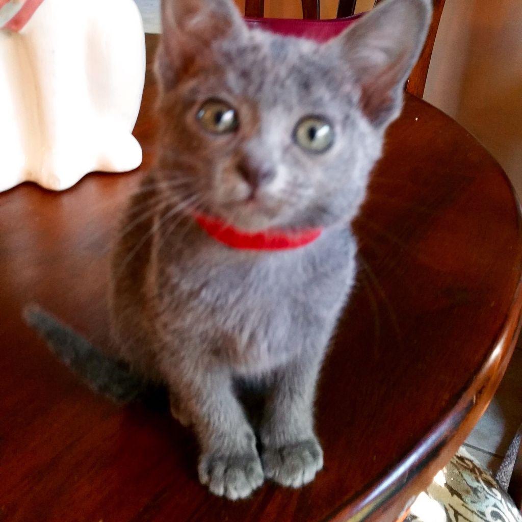 My cute little ChaiLai Korat kitten Love this breed