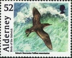 Image result for Balearic Shearwater Puffinus mauretanicus