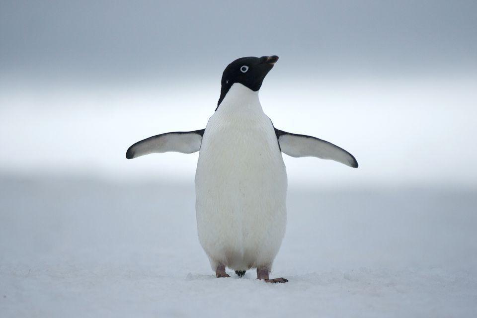Adélie Penguin   Penguin facts, Pictures and Penguins