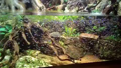 The Large School Of Tetra Fish Video Tetra Fish Fish Tank Aquarium Fish Tank