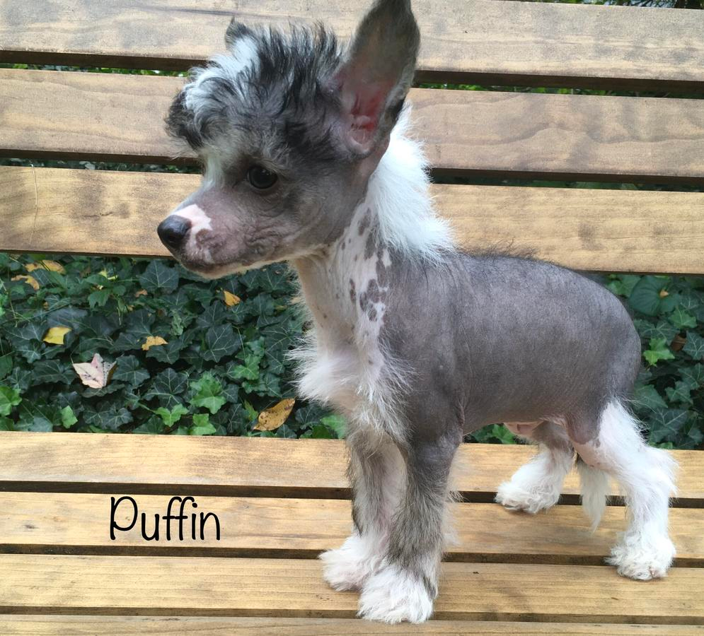 Chinese Crested Hairless Boy in Holland, Michigan Hoobly
