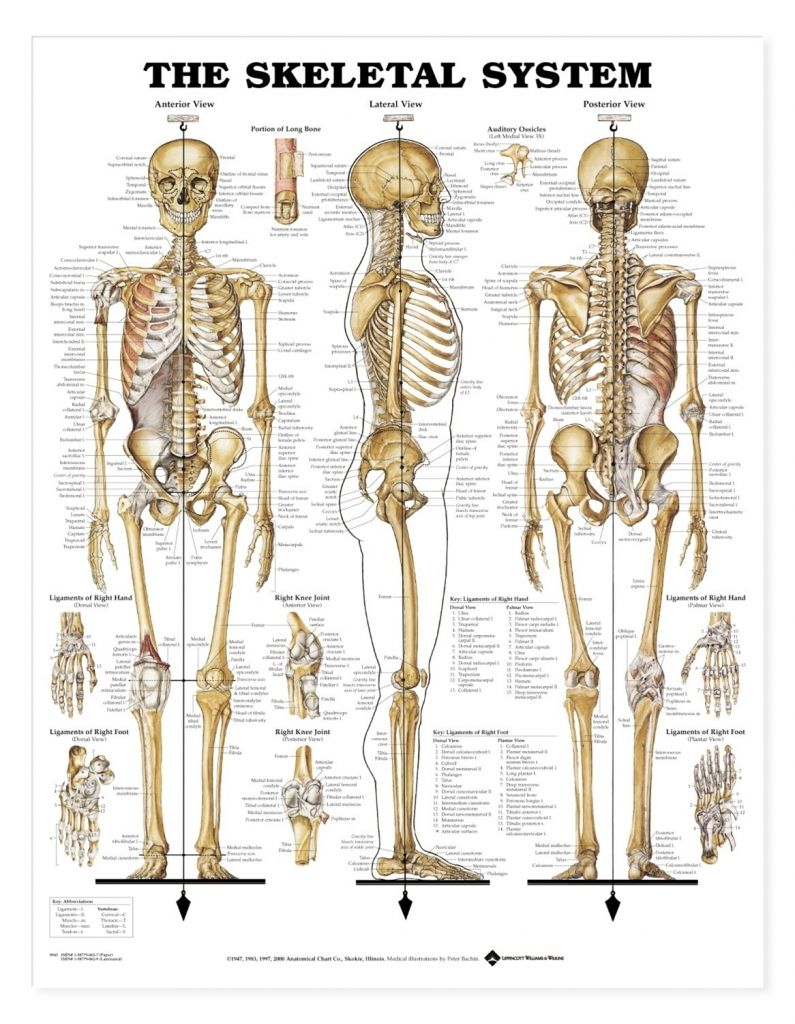 Human Bone Structure Anatomy Human Skeleton Model Parts And
