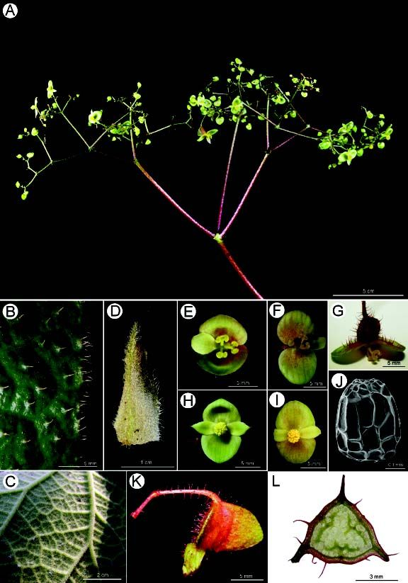 Begonia liuyanii (sect. Coelocentrum, Begoniaceae), a new species from limestone areas in Guangxi, China