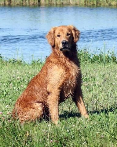Ram River Rainbow Royale Qftr Rio Ranch Golden Retrievers Bc