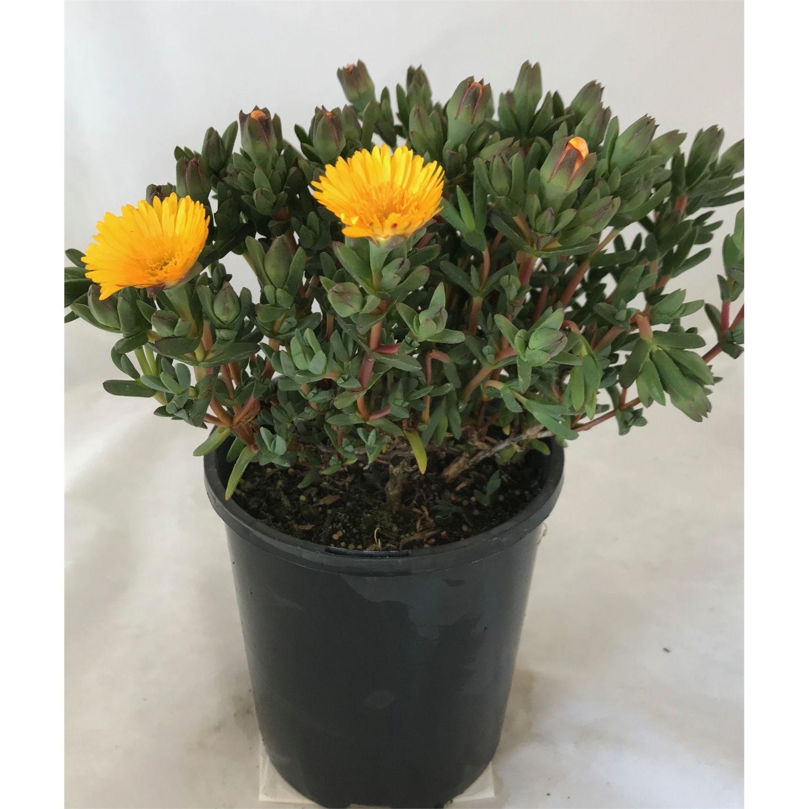 140mm Yellow Pig Face Mesembryanthemum crystallinum