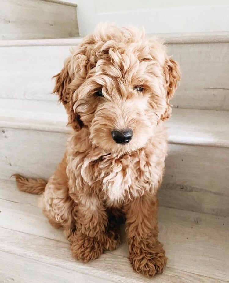Adorable Shorkie Poo Pups Shih Tzu Yorkie Poodle 1 Female Left Come Visit Our Ad On Ebay Classifieds Yorkie Poodle Shih Tzu Yorkie