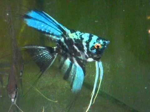 Blue Marble Angelfish Angel Fish Aquarium Fish Betta Fish