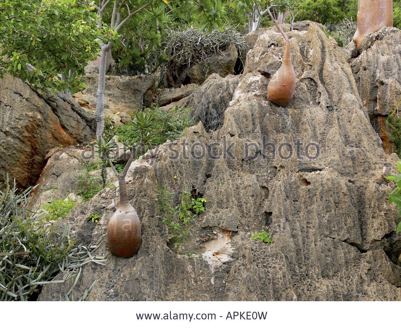Image from http://c8.alamy.com/comp/APKE0W/desert-rose-adenium-obesum-ssp-socotranum-numerous-plants-in-their-APKE0W.jpg.