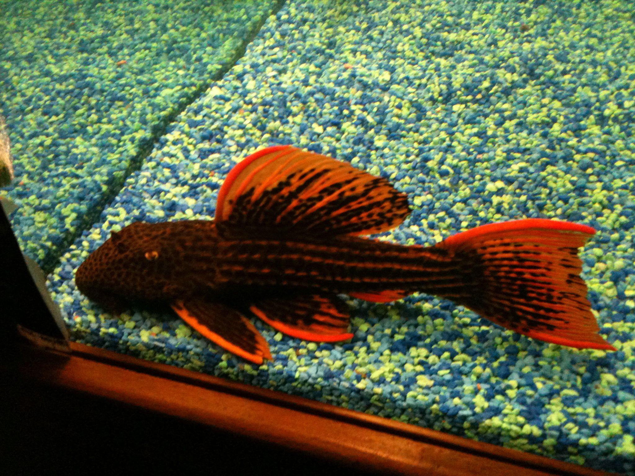 Sunshine Pleco Longfin Eksotisnya Ikan Sapu Sapu Artsy