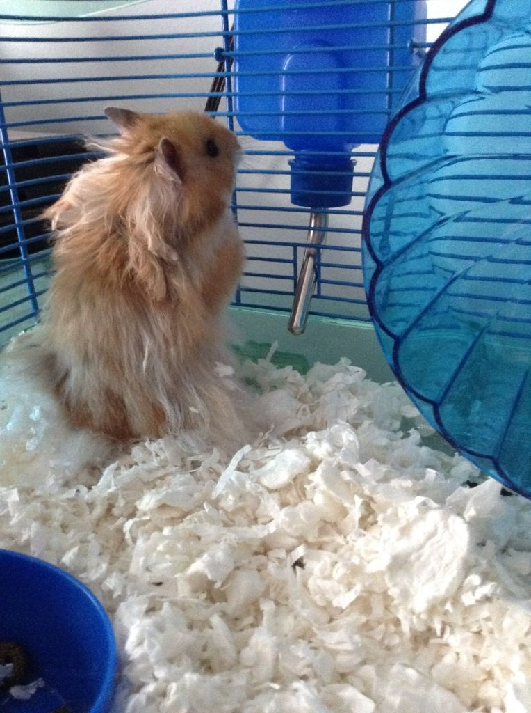 This is Emmit! He is a Long Haired Syrian hamster who is