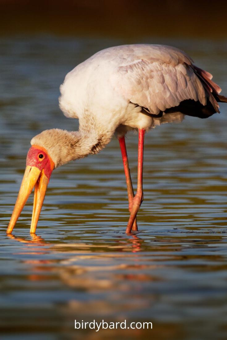 Hey, Do you know Ibis bird? Yes, ibis is an African bird