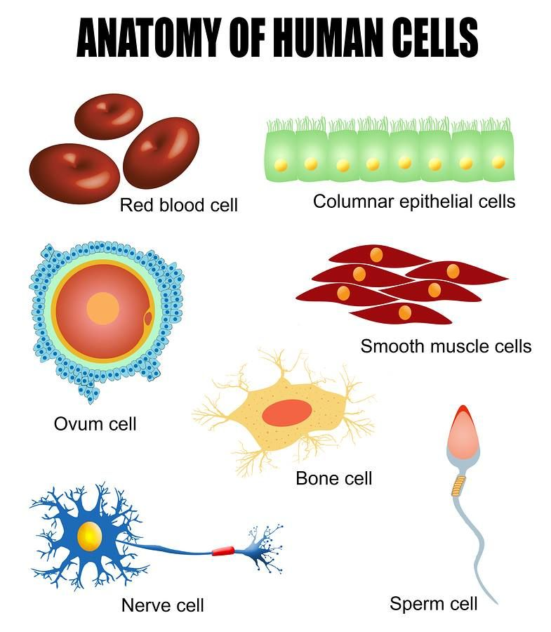 type cell human body in Adult distinct