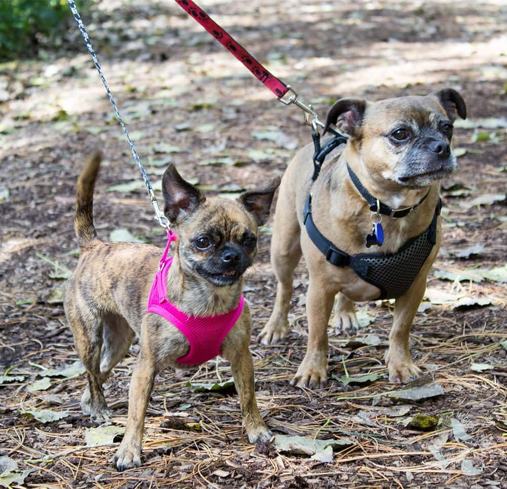 How We Keep Our Pug Mix Dogs Ready For Fall Walks Pug Mix Pugs