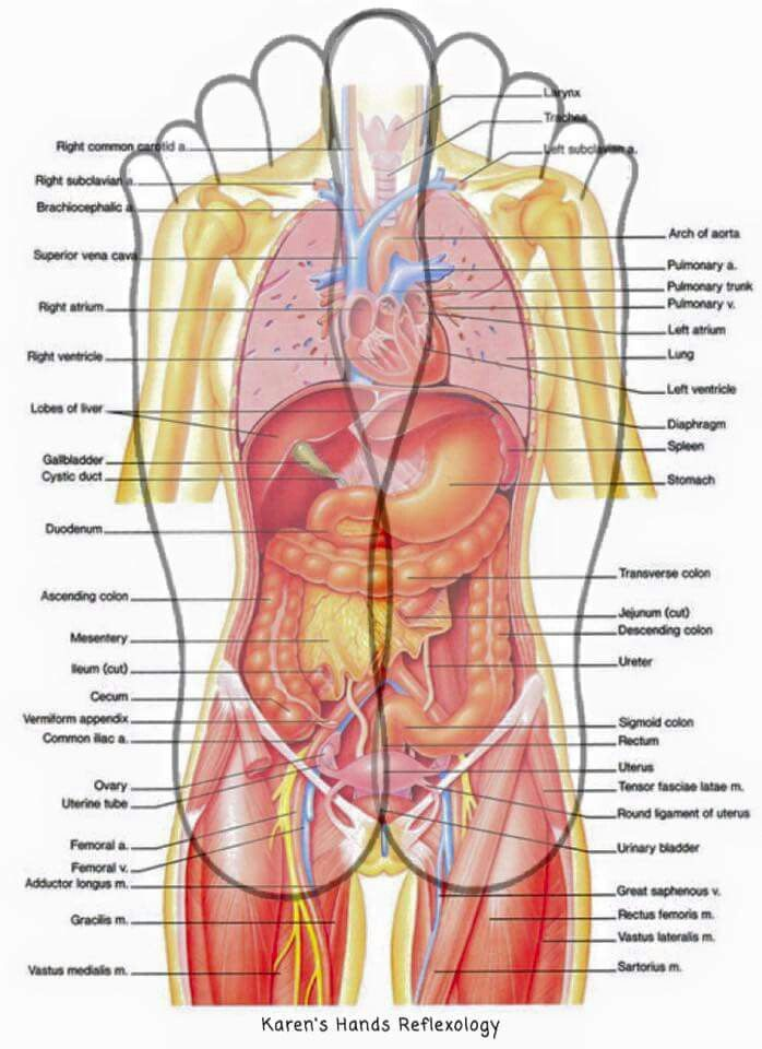 diagram of the human body internal organs | Nursing. (: | Pinterest ...